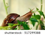 The Big Achatina Snail On A...