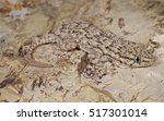 Moorish Gecko  Tarentola...