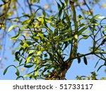 Mistletoe  Viscum Album  On A...