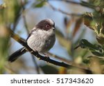 long tailed tit or long tailed... | Shutterstock . vector #517343620