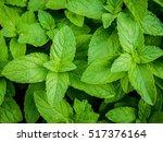 closeup fresh growing... | Shutterstock . vector #517376164