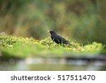Foraging Male Common Blackbird...