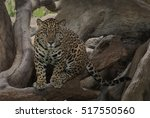 leopard crouched down in the...   Shutterstock . vector #517550560
