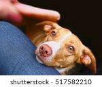 dog begging for sausage close... | Shutterstock . vector #517582210