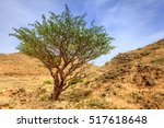 Frankincense Tree Growing In A...