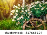 camomile flowers blossom at... | Shutterstock . vector #517665124
