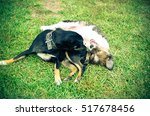 Stock photo dog and puppy playing in the summer on the green grass 517678456