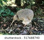 Stock photo little spotted kiwi 517688740