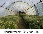 chrysanthemums in a greenhouse | Shutterstock . vector #517705648