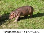 baby  hippo big mammal in zoo | Shutterstock . vector #517740373