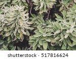 Spice Plant  Sage   Salvia...