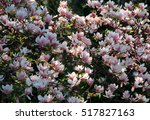 magnolia blossom with many... | Shutterstock . vector #517827163