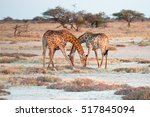 Two Namibian Giraffes Are...