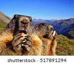 Closeup Of Marmots Eating A...