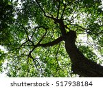 forest tree in nature green... | Shutterstock . vector #517938184