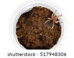 Chilean Rose Sling Tarantula ...