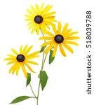 Flower Branch  Black Eyed Susa...