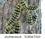 Small photo of Moth caterpillars - Hylesia nigricans