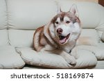 Siberian Husky Dog Lying On A...