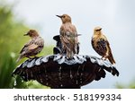 European Common Starling...
