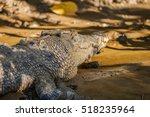 saltwater crocodile  is the... | Shutterstock . vector #518235964