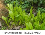 background with green leaves... | Shutterstock . vector #518237980