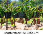 Insectivorous Plants Nepenthes...
