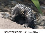 echidna or spiny anteater | Shutterstock . vector #518260678
