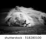Sleeping White Lion Laying On...