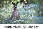 wild kangaroo with his six... | Shutterstock . vector #518385529
