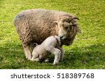 Lamb Feeding From Its Mother