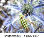 Small photo of green grasshopper with black, green and white stripes on his back, sitting on a blue thistle amethyst eryngo flower - Eryngium amethystinum. close up with details. horizontal.