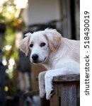 lovely funny white cute fat... | Shutterstock . vector #518430019