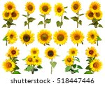 Sunflowers Collection On The...