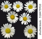 very large oxeye daisy blossoms ... | Shutterstock . vector #518475910