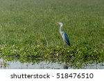 grey heron sitting and... | Shutterstock . vector #518476510