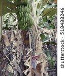 banana tree lizard in the... | Shutterstock . vector #518488246