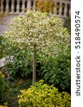 A Round Trimmed Holly Tree In...