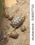 Small photo of Group of Baby Africa spurred tortoise, African Spurred Tortoise enjoying the mud, Tortoise takes a mud bath ,African Spurred Tortoise in the garden