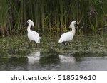 Eurasian Spoonbills  Platalea...