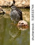 Small photo of Young male of Eurasian sparrowhawk drinking and bathing in a water hole in summer. Accipiter nisus
