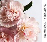 closeup of beautiful pink...   Shutterstock . vector #518560576