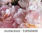 Closeup Of Beautiful Pink...