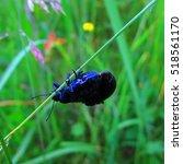 Small photo of Agelastica alni, the alder leaf beetle