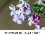 night scented  matthiola | Shutterstock . vector #518574064