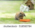 Brown Holland Lops Rabbit On...