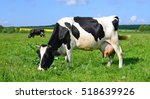 cow on a summer pasture   Shutterstock . vector #518639926