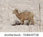 bighorn lamb | Shutterstock . vector #518643718
