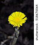 Coltsfoot The First Spring...