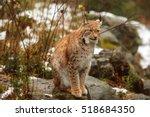 eurasian lynx nice portrait  he ...   Shutterstock . vector #518684350